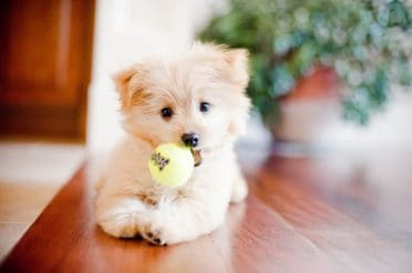 Pomeranian Poodle Mix also known as Pampoo