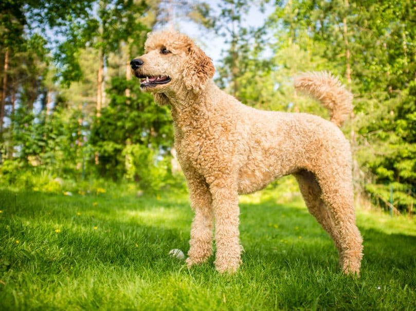 Very young poodle standing on the grass in the summer