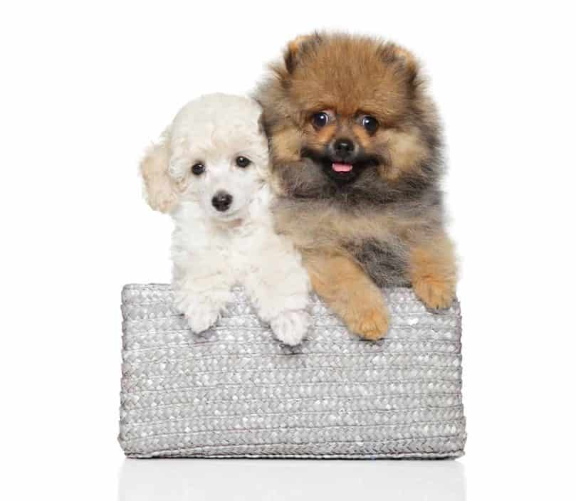 Toy Poodle and Pomeranian