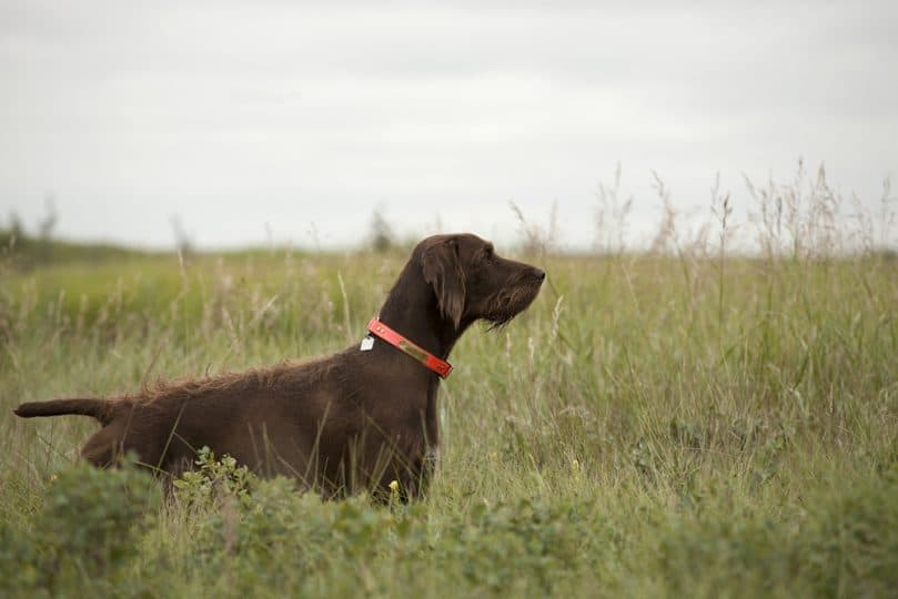 Full grown Pudelpointer pointing in a field.