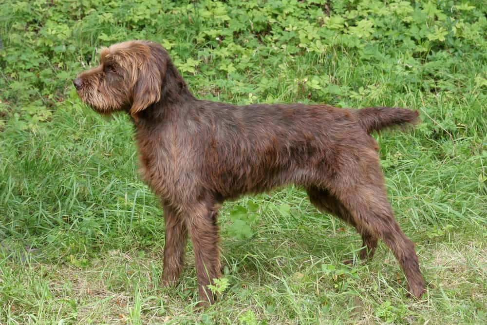 Presenting The Pudelpointer The Best Hunting Dog Around