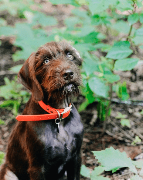 Adorable Pudelpointer Puppy standing in a forest.