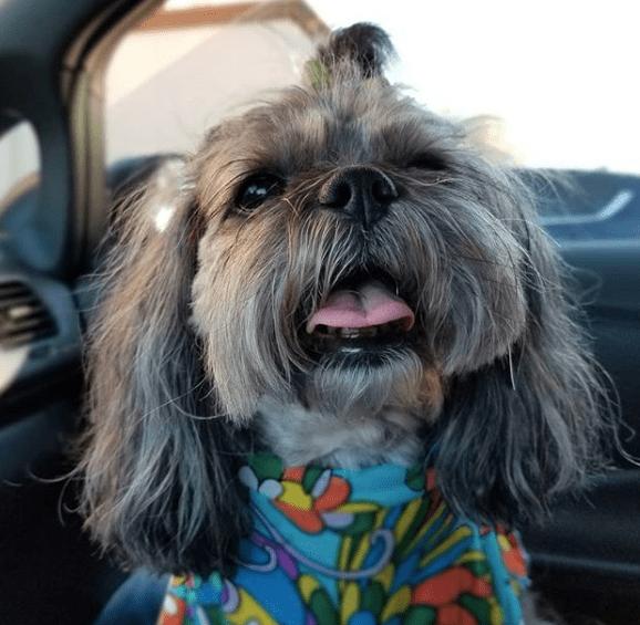 full-grown multi-colored Peekapoo in the car