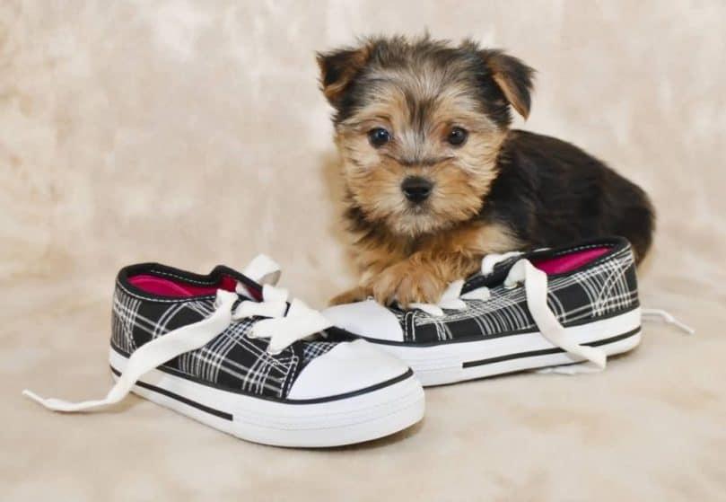morkie teddy bear dog breed