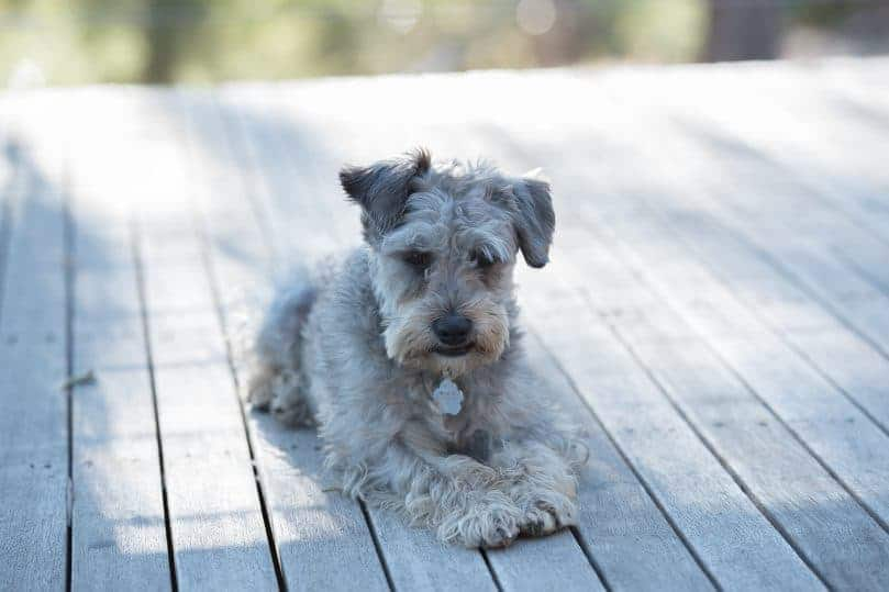 Schnoodle teddy bear dog breed