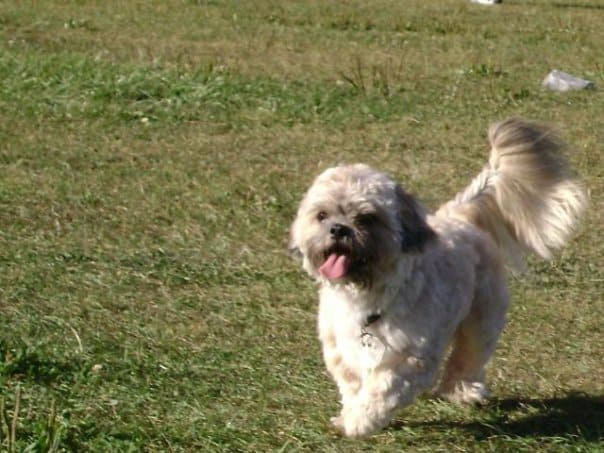 shih poo teddy bear breed photo