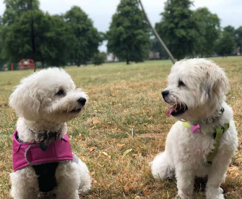 Two white shichons sitting down in a field happily looking at each other