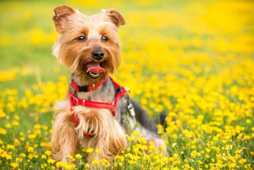 Yorkshire Terrier playing in flowers
