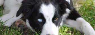 The Borador (Border Collie Lab Mix): Crossbreed of America's Two Most Beloved Dogs
