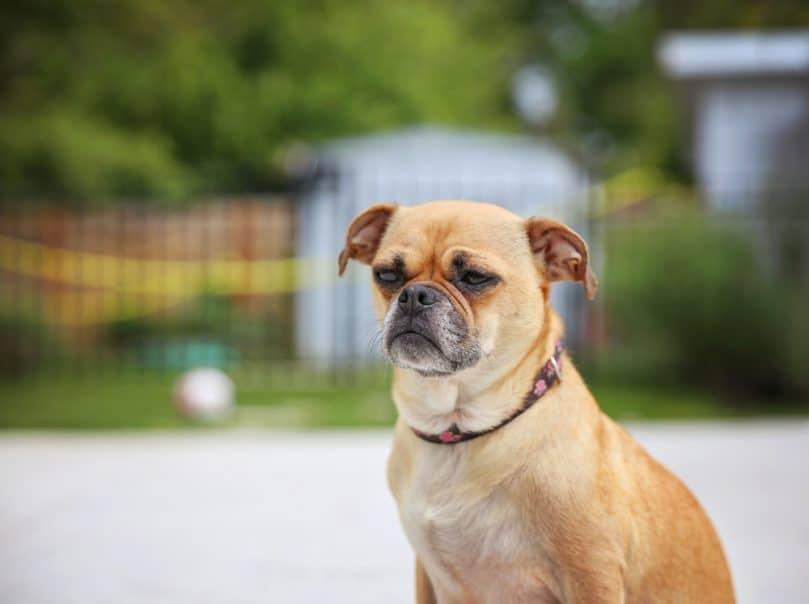 Chihuahua Pug, Chug
