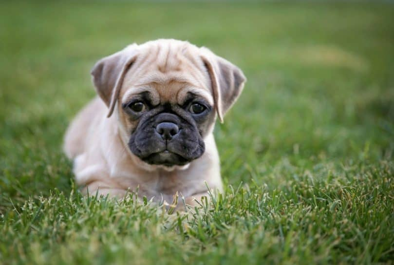 Chug puppy laying in grass
