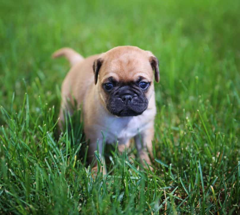 Chug puppy standing in grass