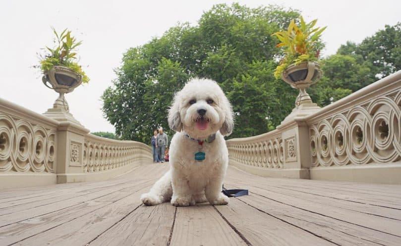 White fluffy Shichon sitting on a bridge