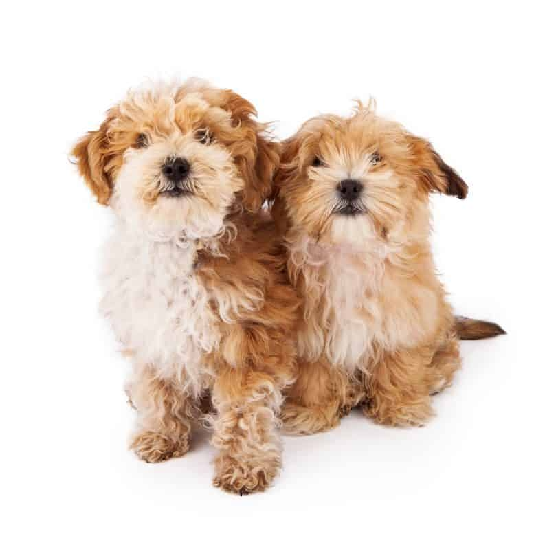 Is The Havapoo (AKA Havanese Poodle Mix) Dog Smarter Than