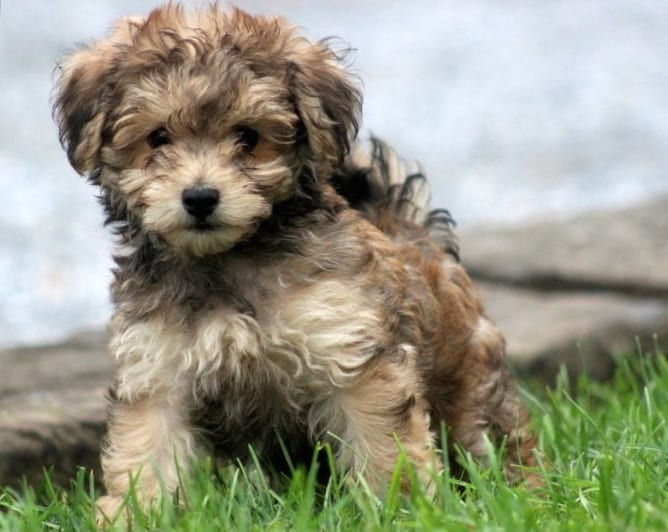 Gray Havanese Poodle Mix Puppy