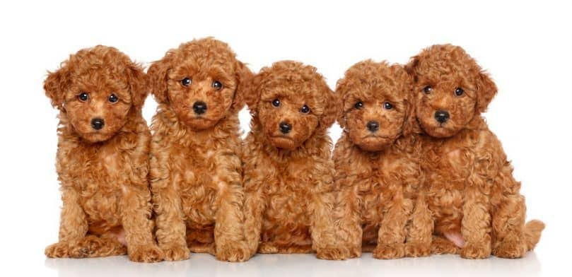 Group of Toy Poodle puppies on a white background