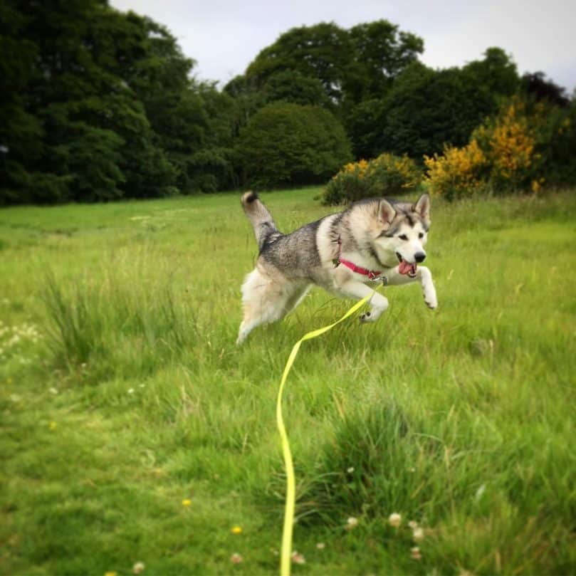 Northern Inuit Dog Running in the Grass