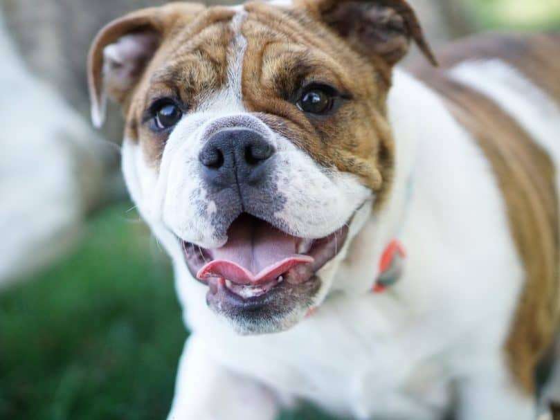 Mini English Bulldog looking happy