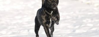 Patterdale Terrier on snow