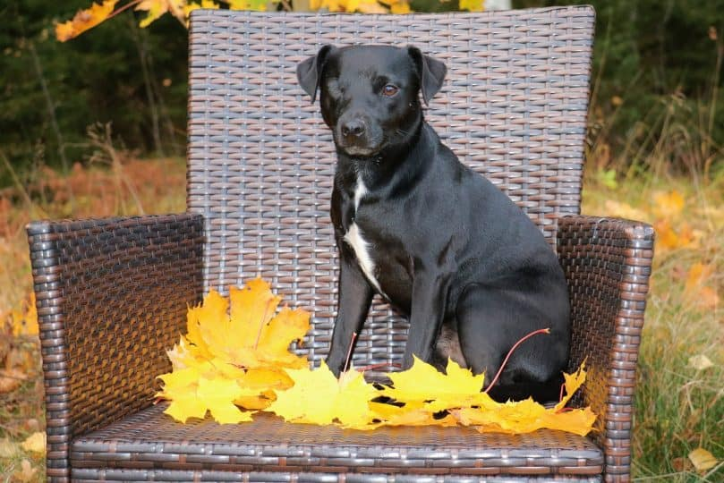 patterdale terrier on chair