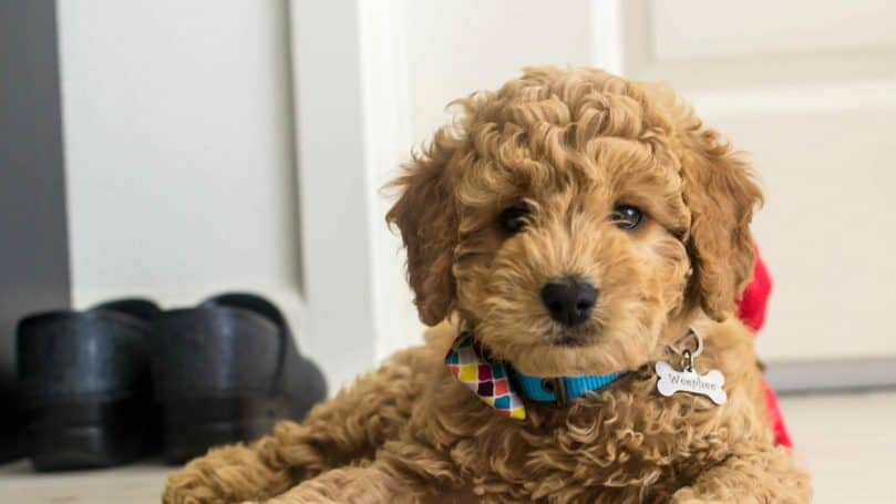mini goldendoodle photo