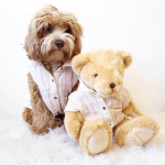 Your Childhood Dreams Come True: The Teddy Bear Dog