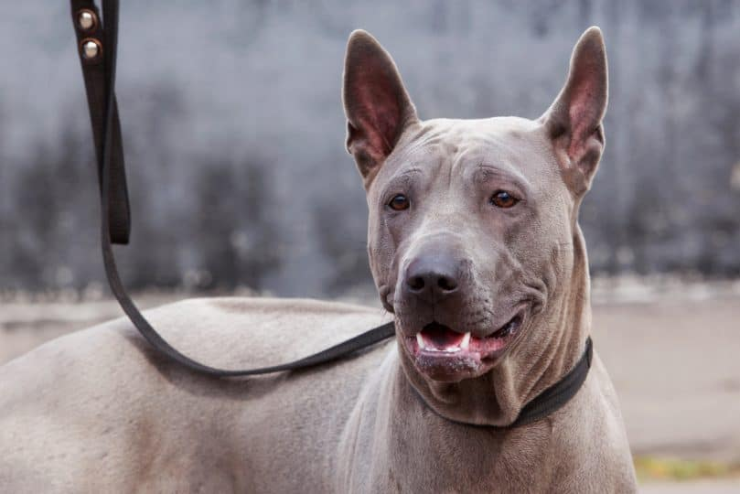 the head of dog breed Thai Ridgeback
