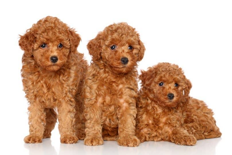 Three toy poodle puppies posing on a white background