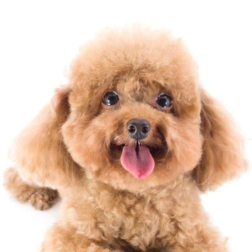 fluffy Red Toy Poodle puppy