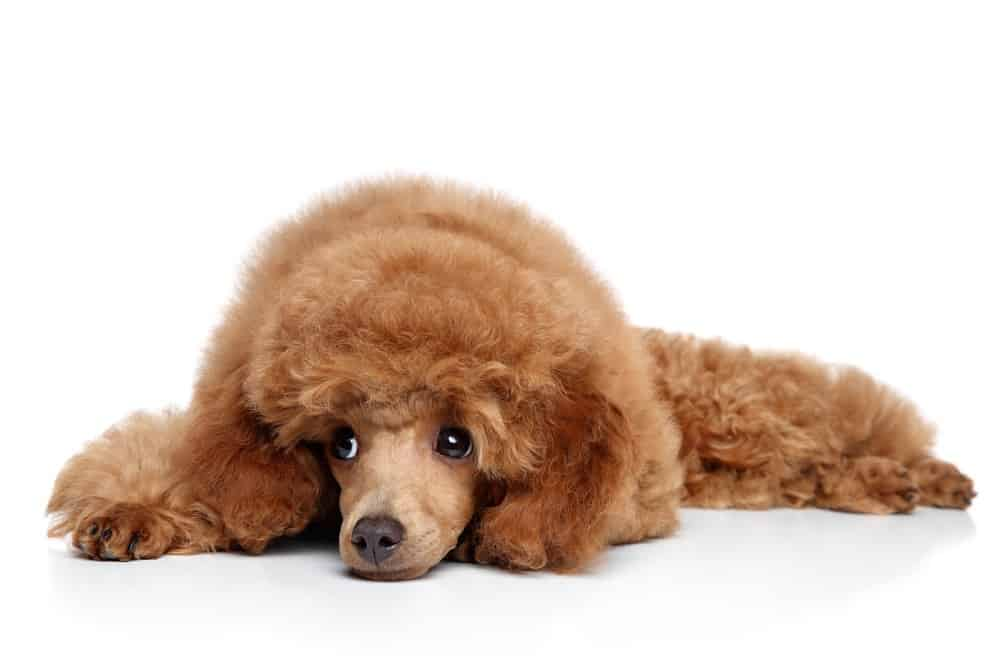 A Comprehensive Guide To The Toy Poodle Animalso