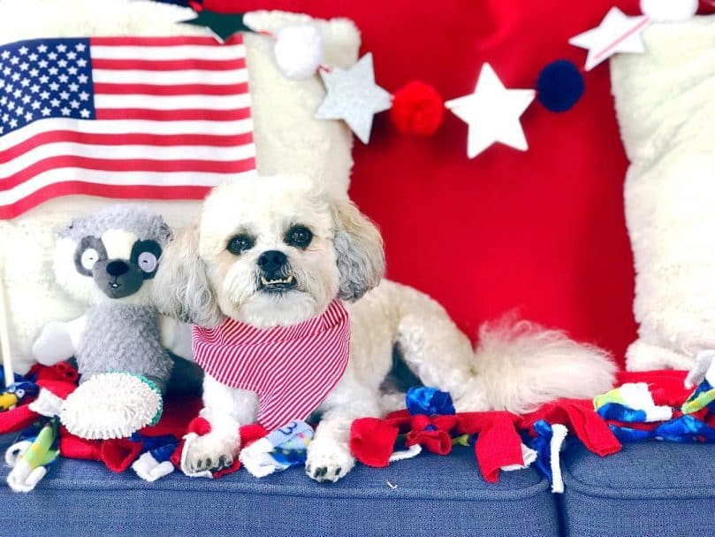 White Shichon wearing a red bandanna surrounded by USA themed flags and bunting