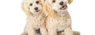Two White Havanese Dogs