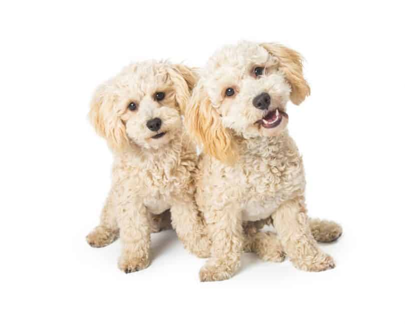Two White Havapoo Dogs