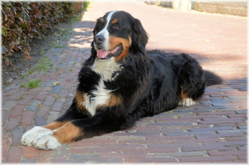 Bernese Mountain Dog relaxing outside on a sunny day