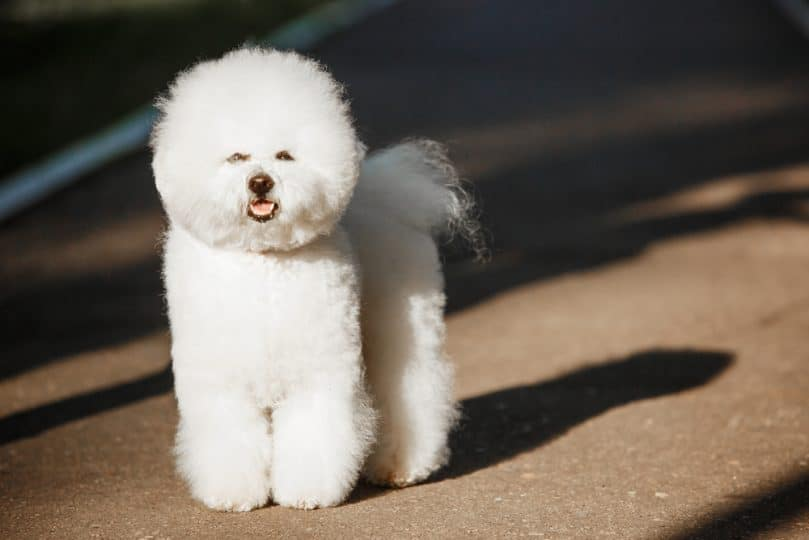 What To Expect With a Poochon (Bichon & Poodle Mix) In Your