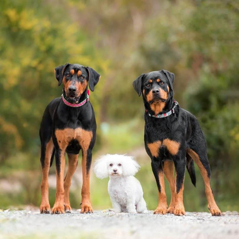 Bichon Poodle standing in between two Rottweiler dogs.