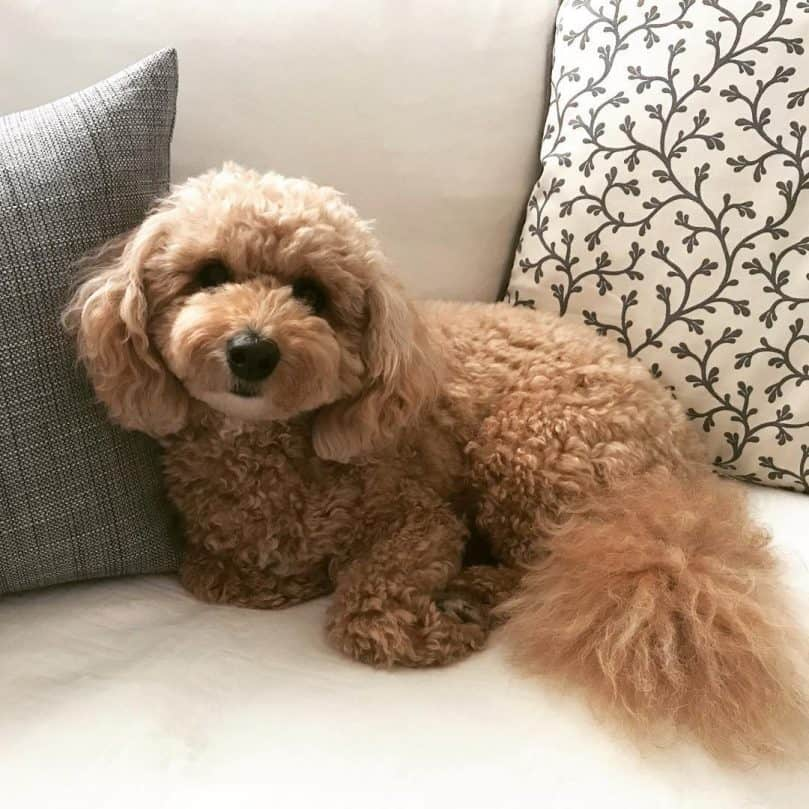 Tan Bichon Poodle relaxing on the couch
