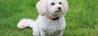 Bichon Poodle sitting outside in the grass