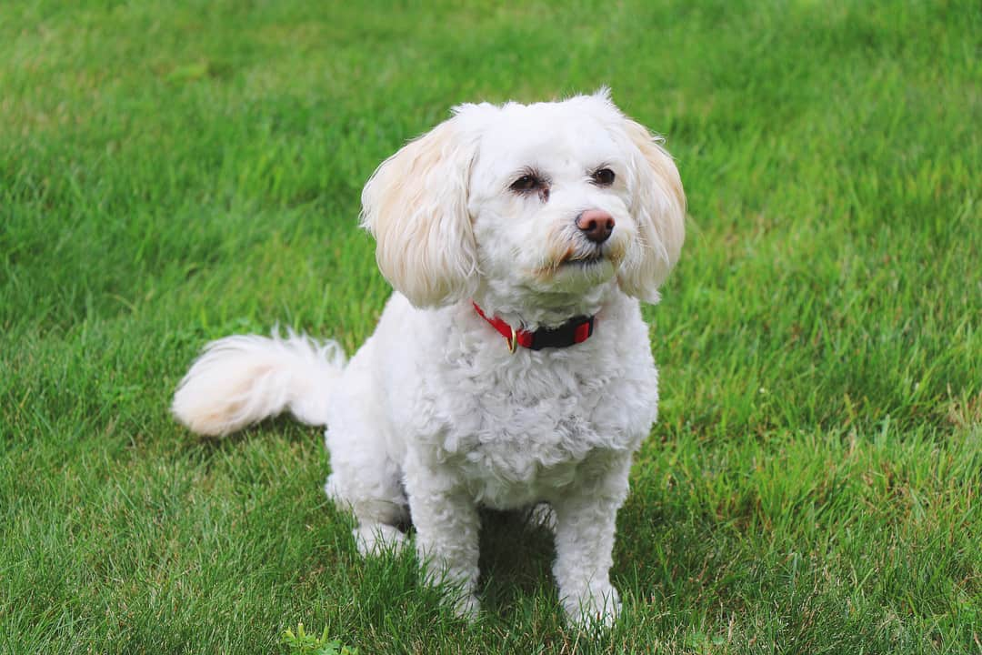 What To Expect With A Poochon Bichon Poodle Mix In Your