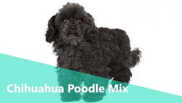 Chihuahua Poodle Mix,also known as Chipoo