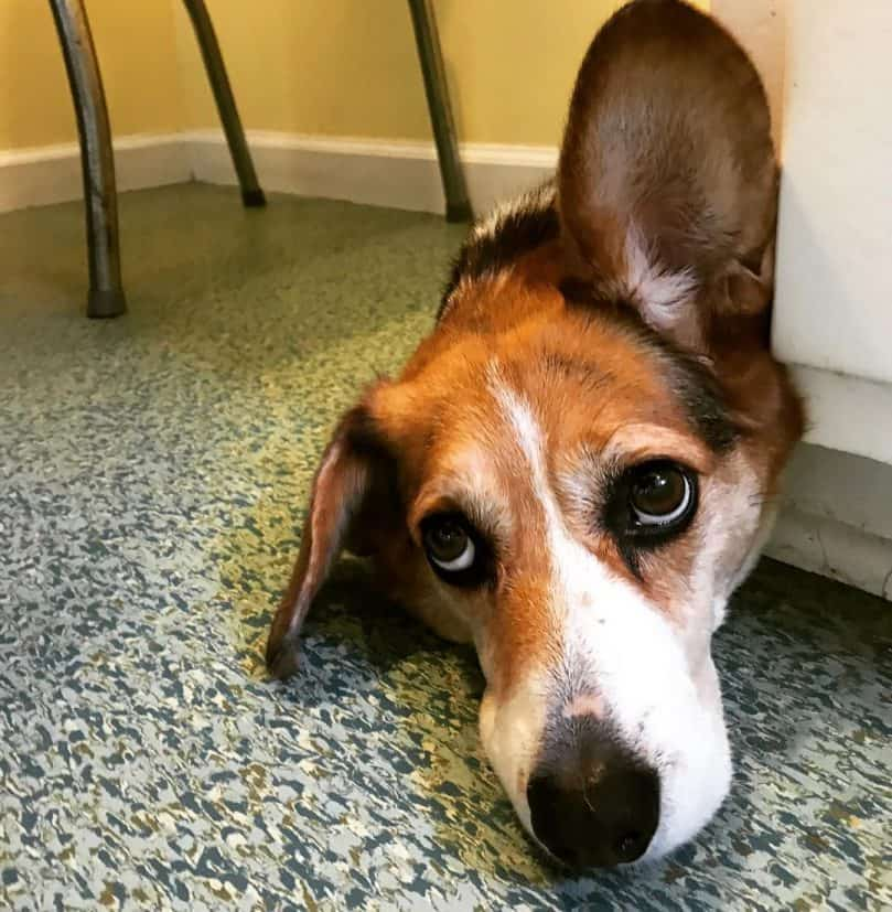 Corgi Beagle Mix laying down on the floor with one ear up
