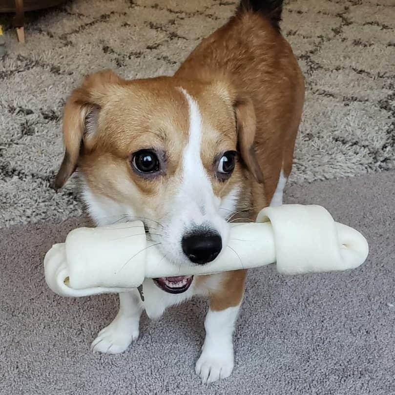 Corgi Beagle Mix holding a bone in its mouth