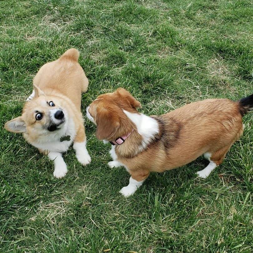Corgi and Corgi Beagle Mix playing together on the grass