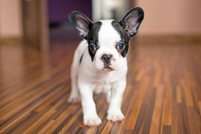 Black and white Frenchton puppy standing on wooden floor
