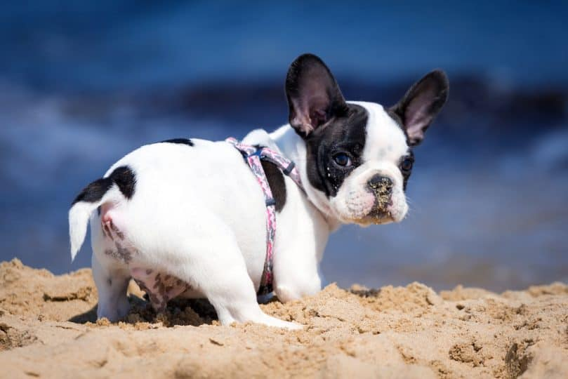 Frenchton puppy digging in the sand at the beach
