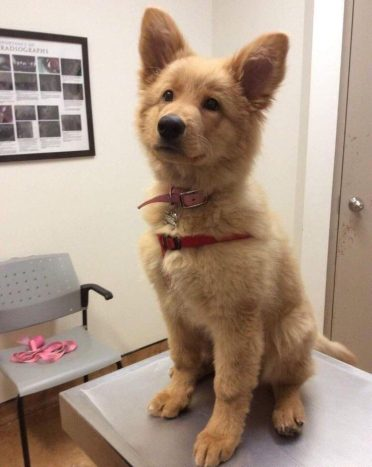 German Shepherd Golden Retriever Mix also known as Golden Shepherd