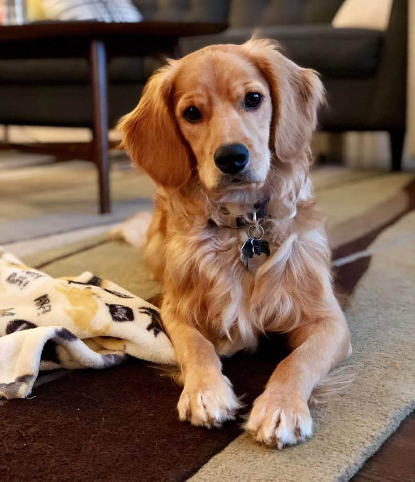Golden Cocker Retreiver relaxing at home on the carpet