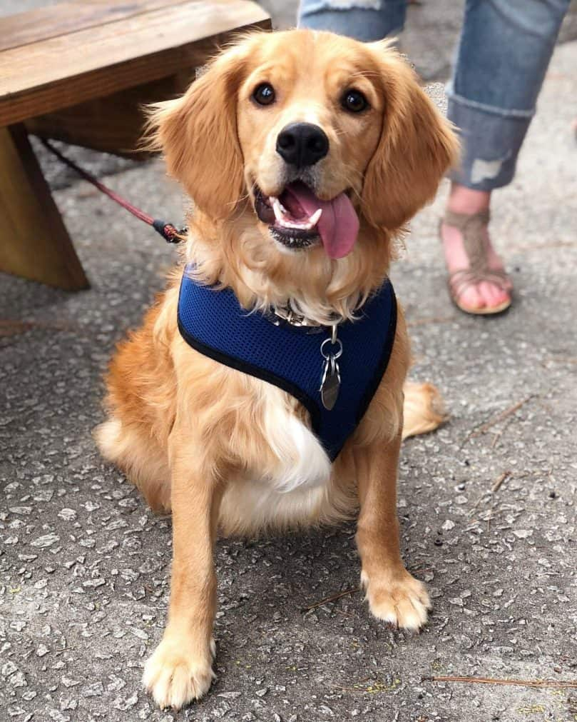 Golden Cocker Retriever wearing a bandana outside