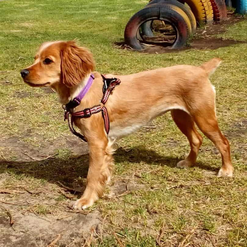 Golden Cocker Retriever playing outside in a pink harness