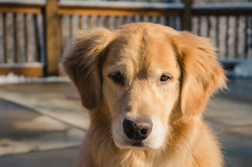 Voorkeur Meet The Golden Cocker Retriever: The Forever Puppy - Animalso #GX62